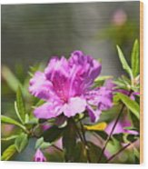 Lavender Rhododendrun Wood Print