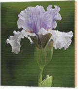 Lavender Bearded Iris #2 Wood Print
