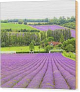 Lavender Farms In Sevenoaks Wood Print