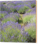 Lavender Field, Tihany, Hungary Wood Print