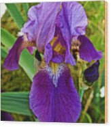 Lavender Iris At Pilgrim Place In Claremont-california  Wood Print