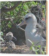 Laysan Albatross Chick Wood Print
