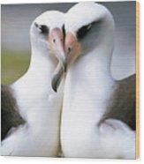 Laysan Albatross Phoebastria Wood Print