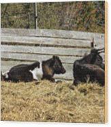 Lazy Cows And Weathered Wood Wood Print