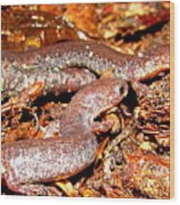 Leadback Salamander Pair Wood Print