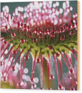 Leaf Of Sundew Wood Print by Nuridsany et Perennou and Photo Researchers