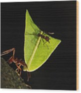 Leafcutter Ant Atta Sp Carrying Leaf Wood Print