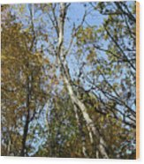 Leaning Birch Wood Print