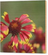 Lemon Yellow And Candy Apple Red Coneflower Wood Print