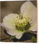 Lenten Rose Wood Print