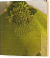 Lenten Rose Interior Wood Print