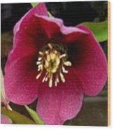 Lenten Rose Wood Print