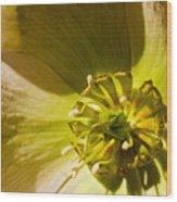 Lenten Rose Study Wood Print