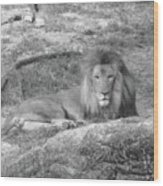 Leo The Lion..... Wood Print