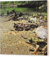 Leopard Frog Landing Wood Print
