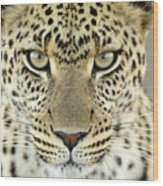 Leopard Panthera Pardus Female Wood Print