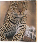 Leopard Panthera Pardus, Masai Mara Wood Print by Anup Shah