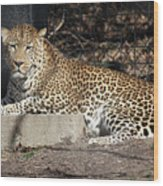 Leopard Relaxing Wood Print