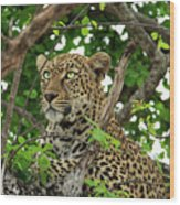 Leopard With Piercing Eyes Wood Print