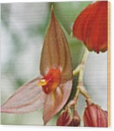 Lepanthes Maduroi Orchid Wood Print