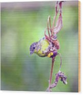 Lesser Goldfinch 4052 Wood Print