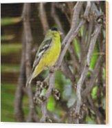 Lesser Goldfinch H57 Wood Print