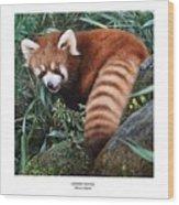 Lesser Panda Ailurus Fulgens Wood Print