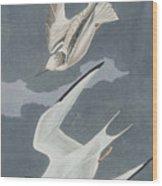 Lesser Tern Wood Print