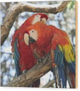 Let Me Get It - Scarlet Macaws Wood Print