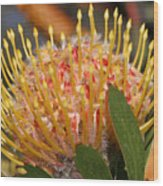 Leucospermum Muirii Wood Print