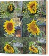 Life Of A Sunflower Wood Print