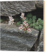 Life On Bare Rock - Pale Pink Succulents On The Wall Wood Print