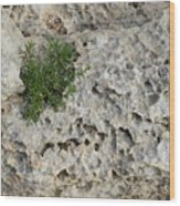Life On Bare Rock - Pockmarked Limestone And Thyme Wood Print