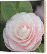 Light Pink Camellia Flower Wood Print