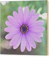 Light Purple Gazania Macro 1  Wood Print