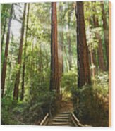 Light The Way - Redwood Forest Of Muir Woods National Monument With Sun Beam. Wood Print