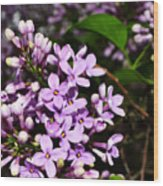 Lilac Bush In Spring Wood Print