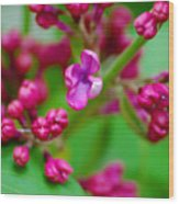 Lilac Opening Wood Print
