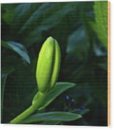 Lilly Bud Wood Print