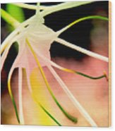 Lilly Flower Pastel Wood Print