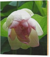 Lilly Opening In Splendor Wood Print
