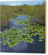 Lillypads In The Everglades Wood Print