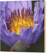 Lily Aglow Wood Print