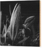 Lily Bud At Night Wood Print