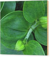 Lily Buds Wood Print