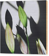 Lily Buds In The Spotlight. Wood Print