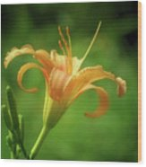 Lily Picture - Daylily Wood Print