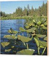 Lilypads On Amber Lake Wood Print