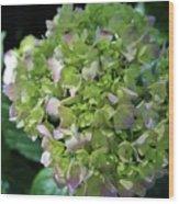 Lime-green Hydrangea Wood Print