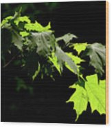 Limelighted Maples Wood Print